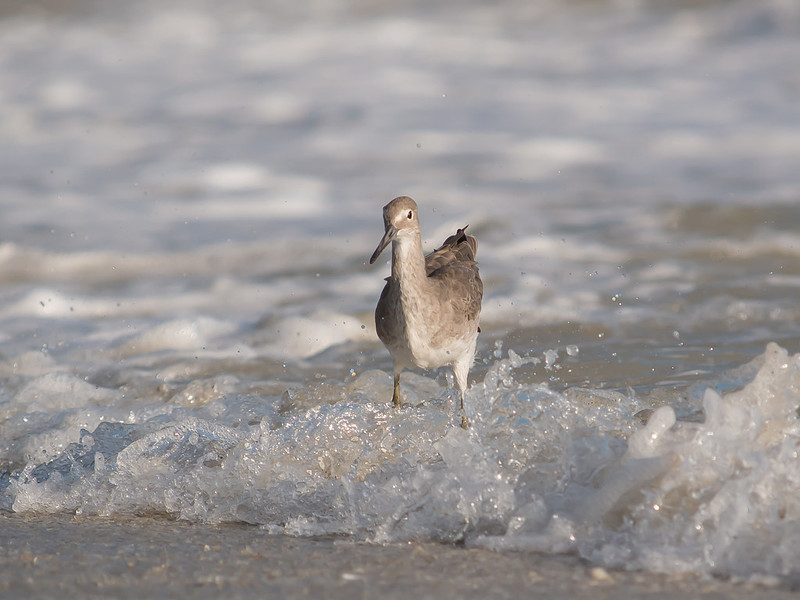 A Willet standing in the surf
