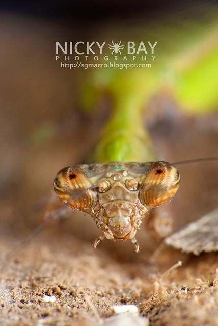 Praying Mantis (Acromantis sp.) - DSC_5647
