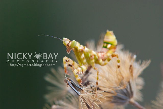 Flower Mantis (Creobotra sp.?) - DSC_5179