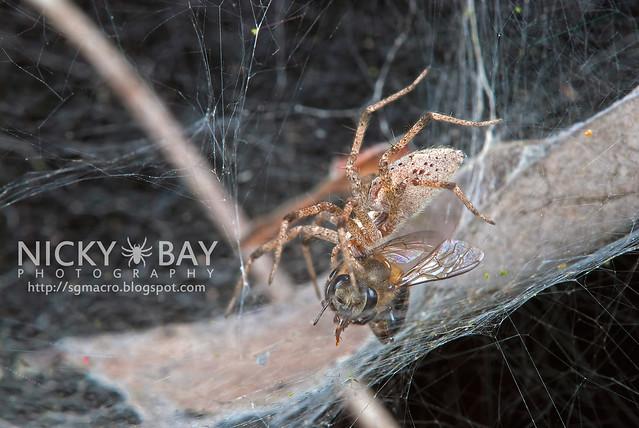 Nursery Web Spider (Pisauridae) - DSC_4228