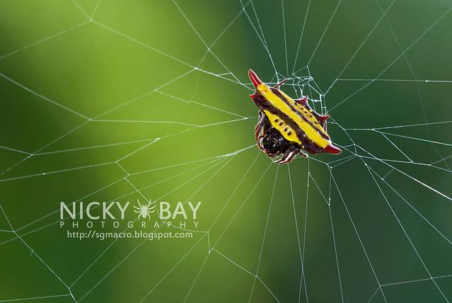Spiny Back Orb Weaver Spider (Gasteracantha doriae) - DSC_4240