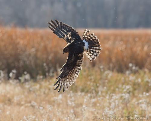 nature canon hawk birdofprey cs6 northdakotanature 5dmarkiii garyandersonphotography minotphotograher