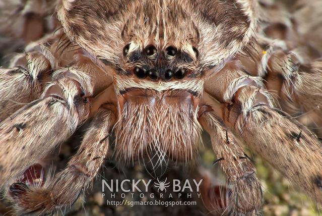 Huntsman Spider (Sparassidae) - DSC_2858