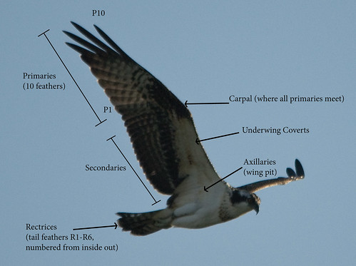 Osprey Wing Topography