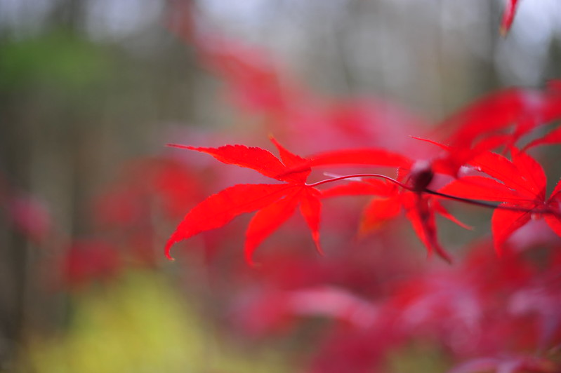 Japanese Maple II