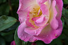 Rosemoor Rose after rain 2