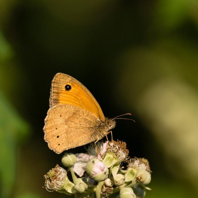 Meadow brown - Bruin zandoogje  (Maniola jurtina)