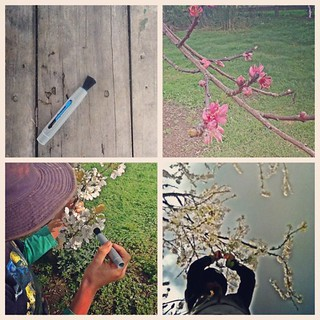 #PicFrame #garden I'm hand-pollinating peach and plum trees in the orchard, using a lens brush.  #spring #iphonesia