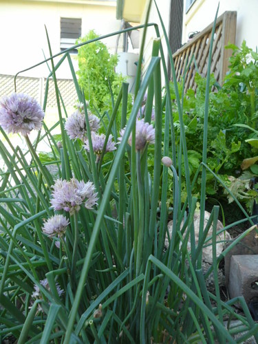 SAM 6803 My Chives in Flower