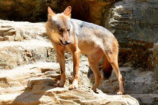 Image of オオカミ near Hino. animal animals zoo wolf gray tama graywolf 動物園 zoological 多摩動物公園 tamazoo tamazoologicalpark 狼 オオカミ 多摩動物園 灰色狼 灰色オオオカミ