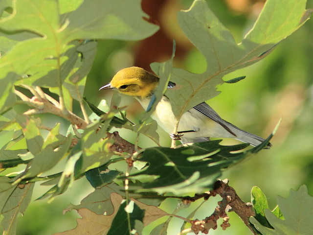 Black-throated Green Warbler 2-20120906