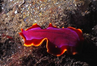 Flatworm Pseudoceros ferrugineus