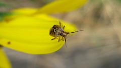 Lygus bug, Lygus sp.