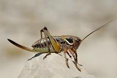 Pholidoptera aptera female