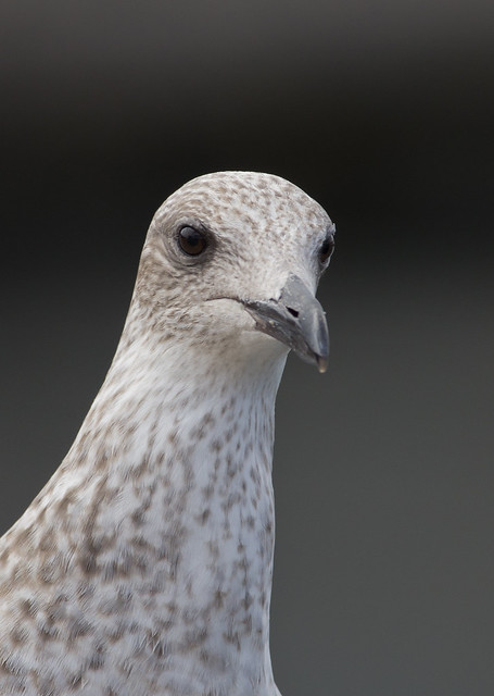 yellow legged gull juv close up 2 - Puerto del Carmen Marina