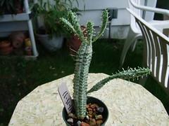 Corn Cob cactus