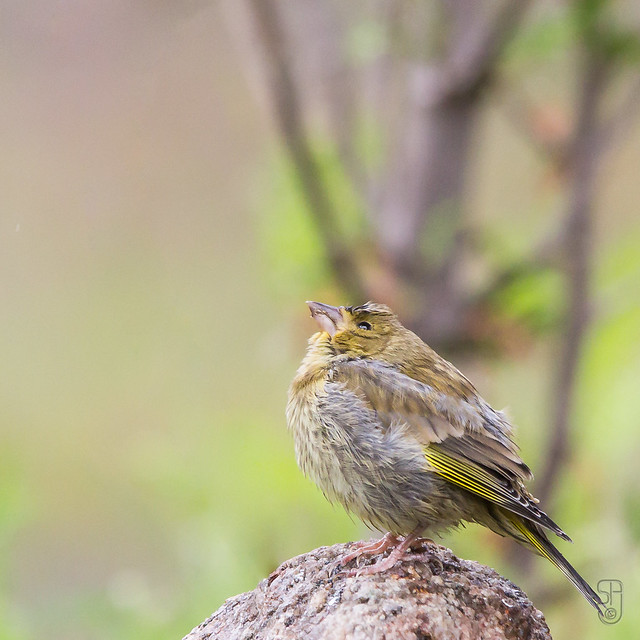 Juvenile European Greenfinch (Carduelis chloris)-7339