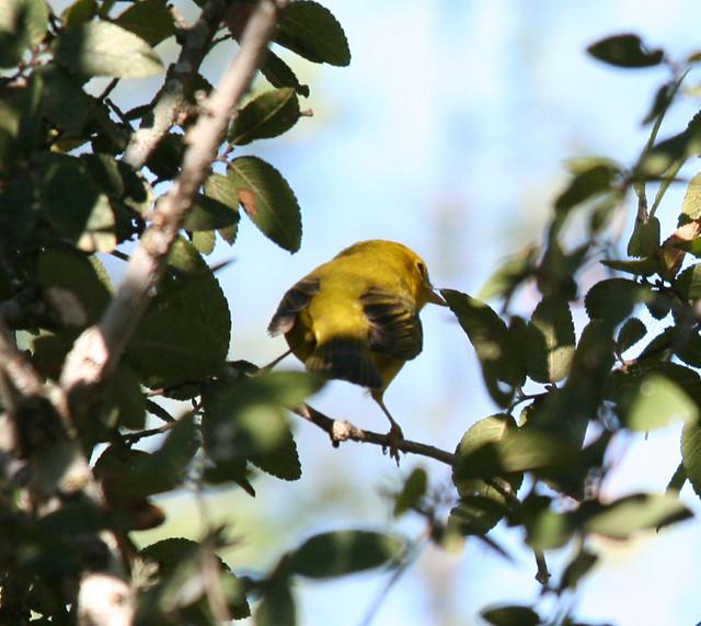 Wilsons Warbler (2)