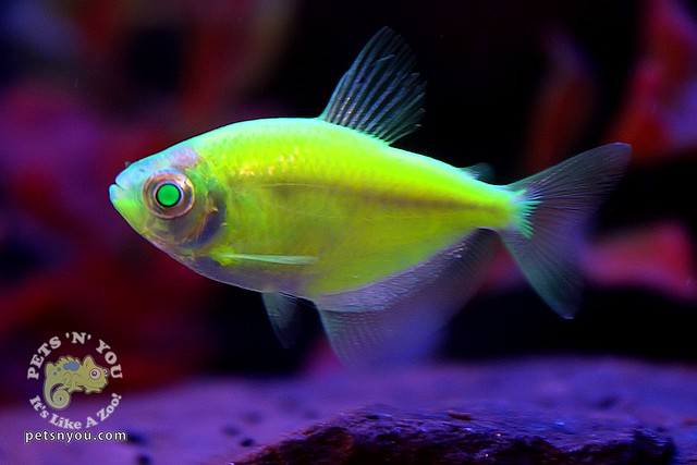 Glofish tetra flickr photo sharing for Glo tetra fish