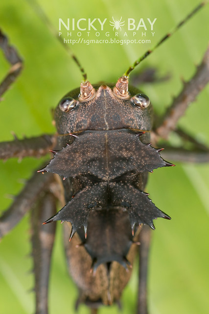 Dragon-Headed Katydid (Lesina sp. or Ellatodon sp.?) - DSC_6376