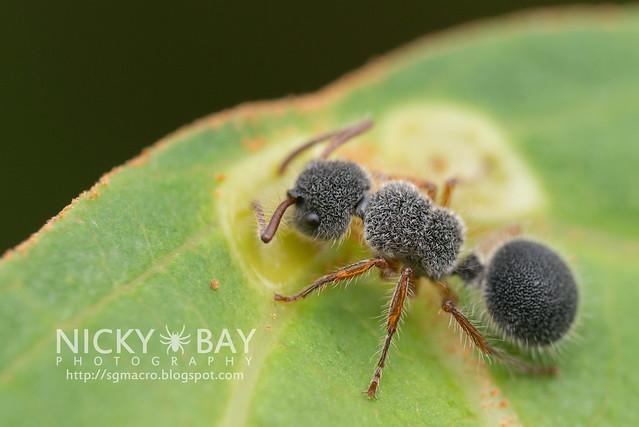 Echinopla sp.? - DSC_5806