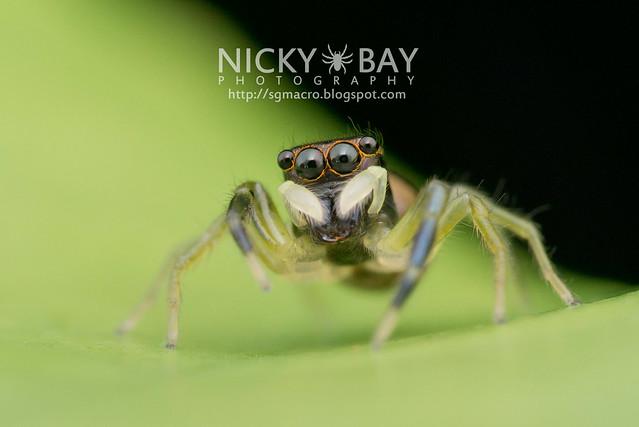 Jumping Spider (Phintella sp.) - DSC_5763