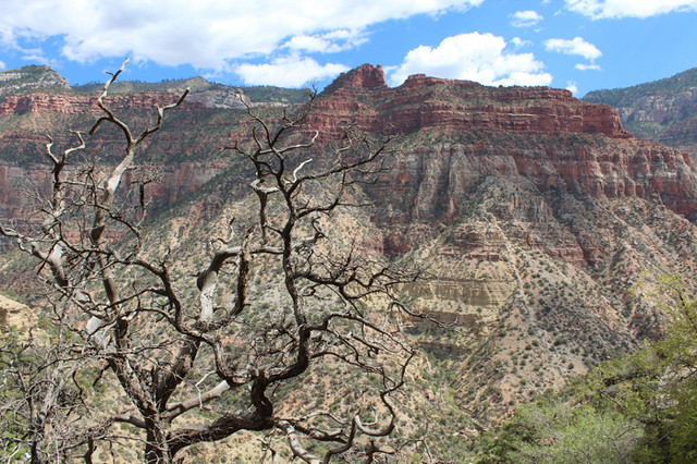 A dead pinon at the edge of the Grand Canyon, harbinger of the future for trees in the Southwest United States. Photo courtesy A. Park Williams.