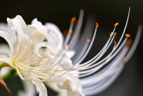 stamina-of-white-spider-lily_290912