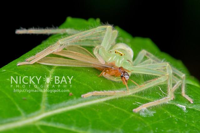 Huntsman Spider (Sparassidae) - DSC_8821