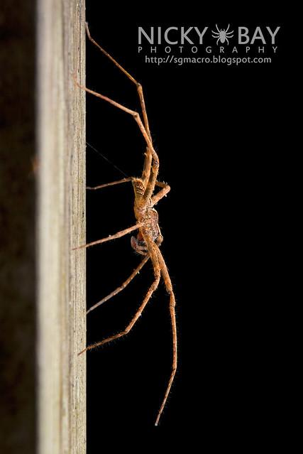 Nursery Web Spider (Pisauridae) - DSC_8629