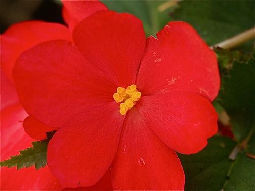 Begonia bloomin'