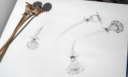 Pink Poppy Seed Pod Sketch