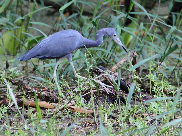 Little Blue Heron 20120930