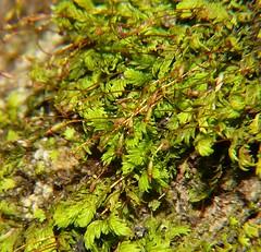 Mosses of Whitsunday Shire