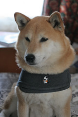 Bowdu in Thundershirt