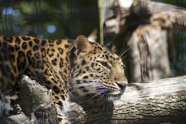 Leopards diet - photo#13