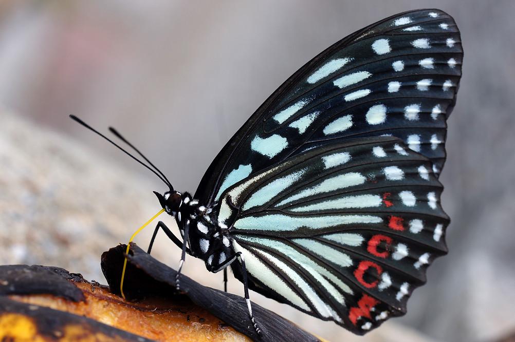 紅星斑蛺蝶-2
