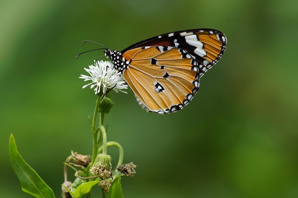 樺斑蝶-2