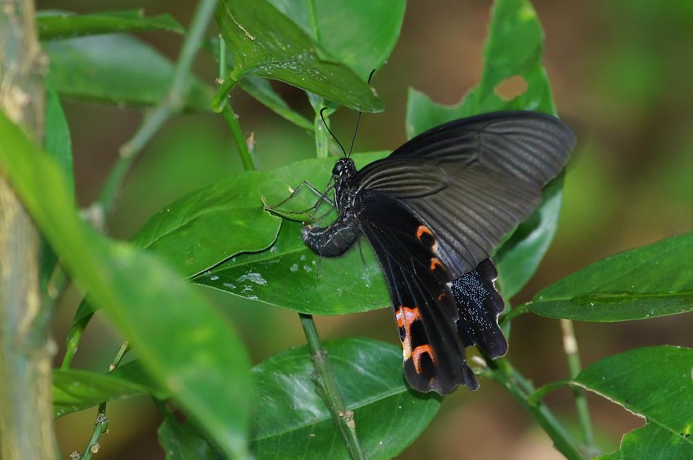 黑鳳蝶-3