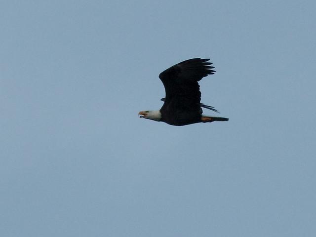 Bald Eagle 20121003