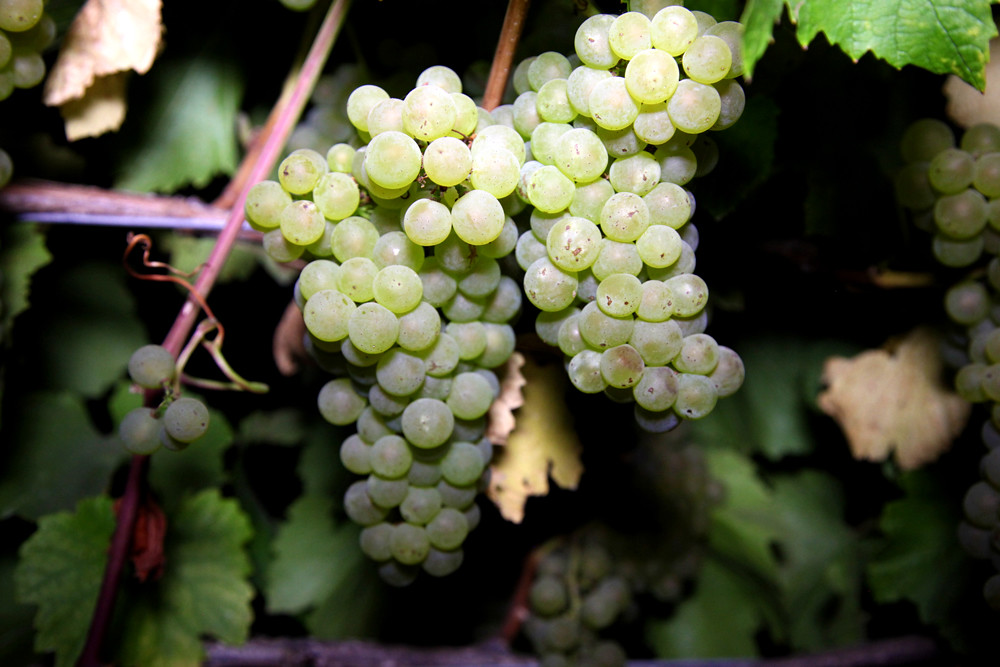 2012 Cal Plans Woods Chardonnay Harvest 0002
