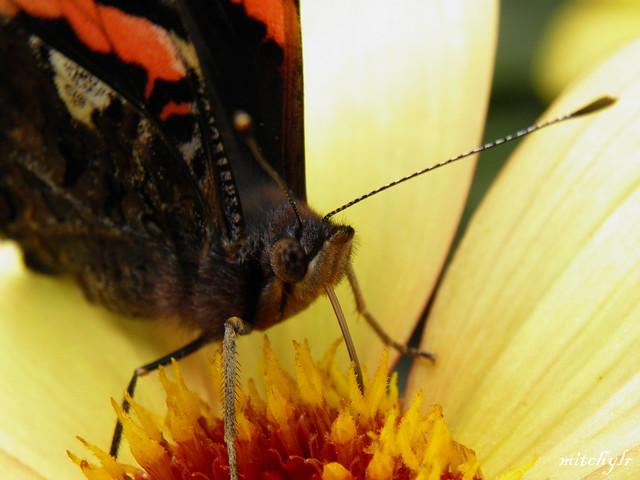 Butterfly Feeding 1