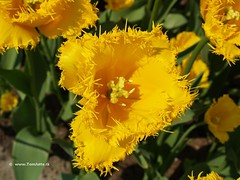 Dutch Tulips, Keukenhof Gardens, Netherlands - 0645