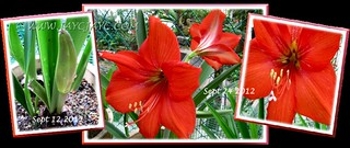 Collage showing blooming stages of our vibrant scarlet-coloured Hippeastrum at our backyard, Sept 2012