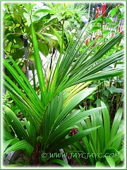 Our potted Cyrtostachys renda (Red Sealing Wax Palm, Lipstick Palm, Rajah Palm) is now 1m tall