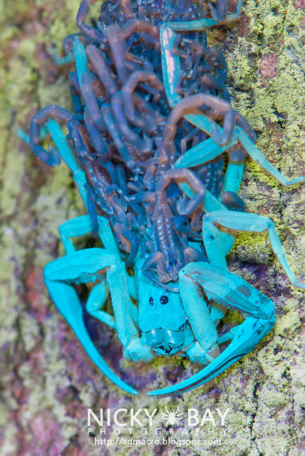 Scorpion with babies (Scorpiones) - DSC_2944