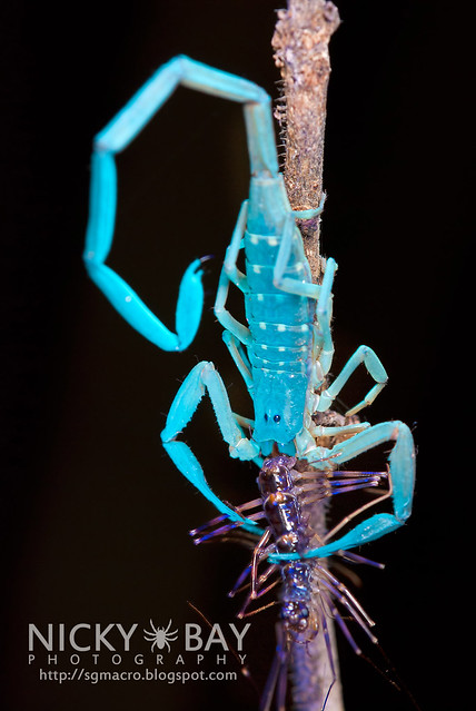 Scorpion devouring House Centipede - DSC_2212