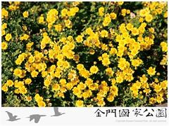 油菊-01