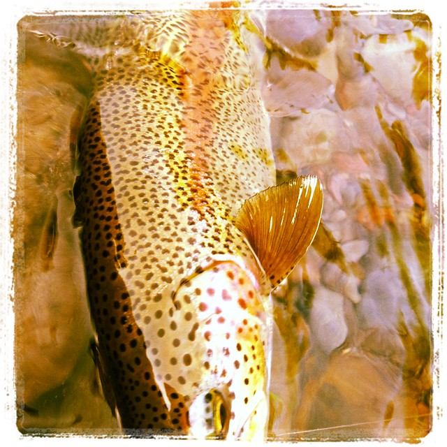 willd trout in the willamette valley