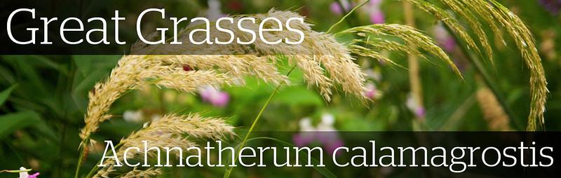 Grasses_AcnatherumCalamagr copy